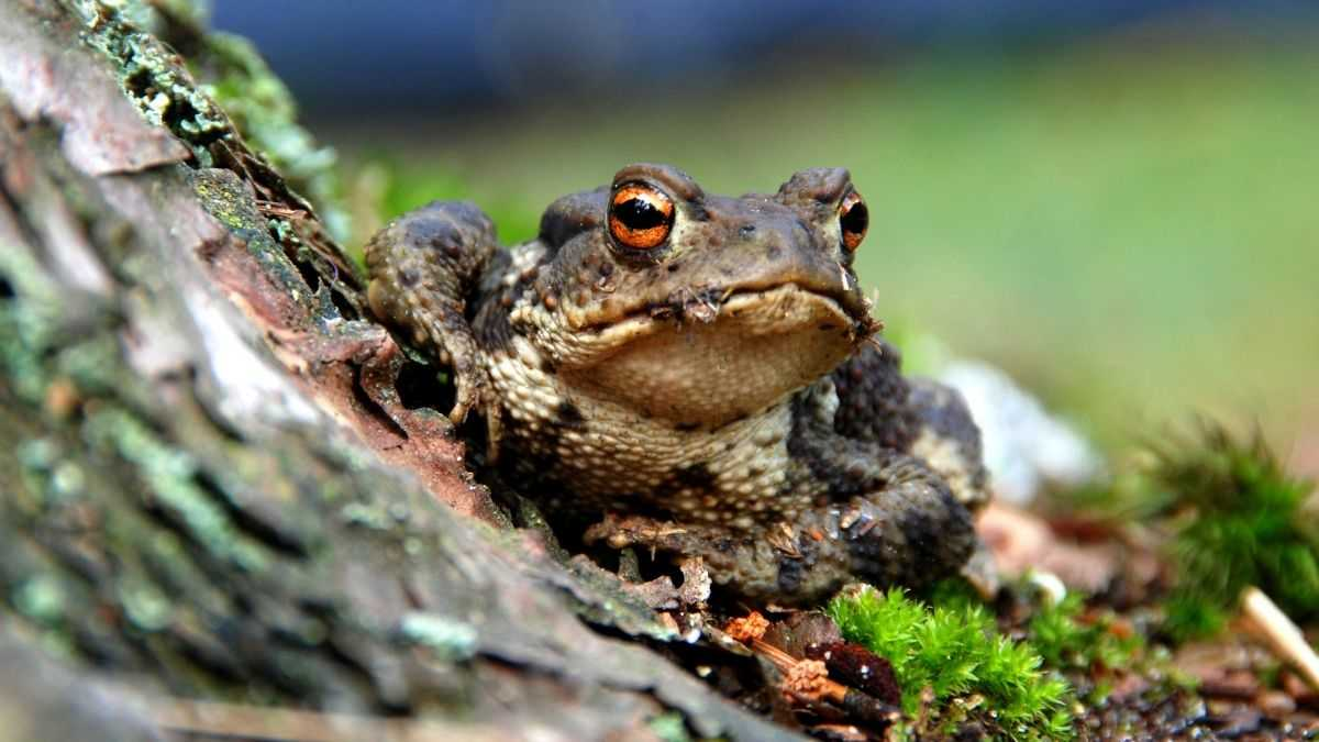 types of toads