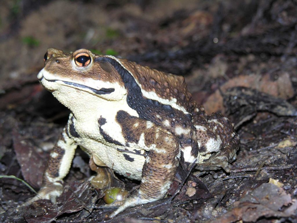 Japanese common toad (Bufo japonicus)