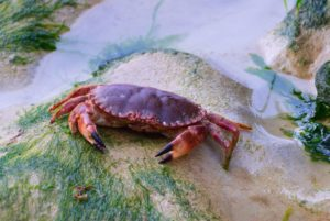 are all crabs edible?