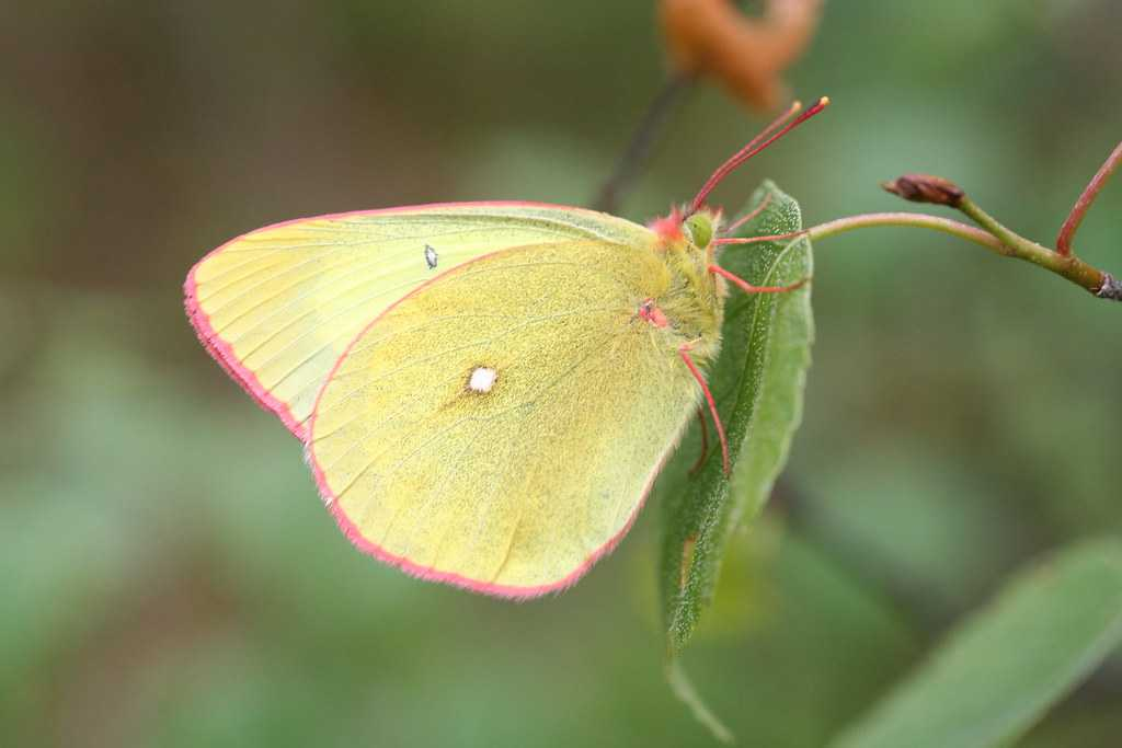 Moorland Clouded Yellow  Butterfly (Colias palaeno)