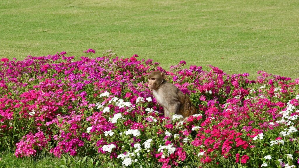 Rhesus macaque monkey in a bed of pink and white flowers.