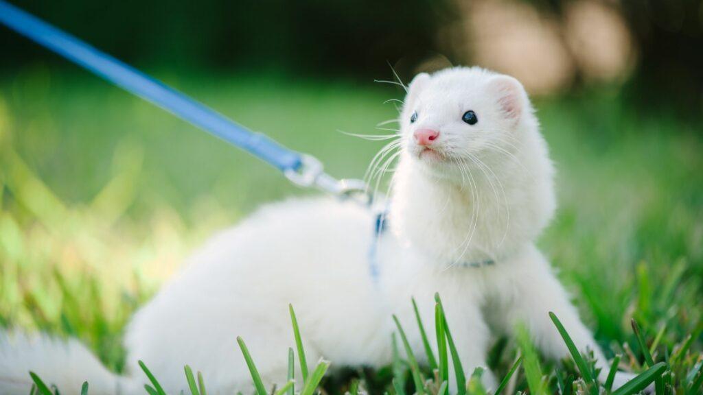 Black-eyed White Ferrets