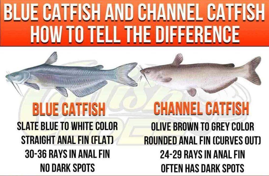 blue catfish vs channel catfish- catfish identification.