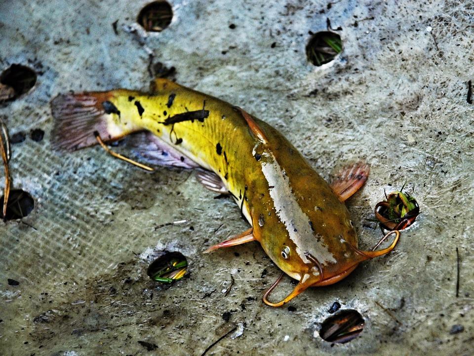 types of catfish
